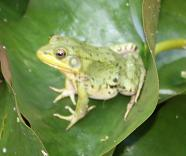 green_frog_on_lily_pad